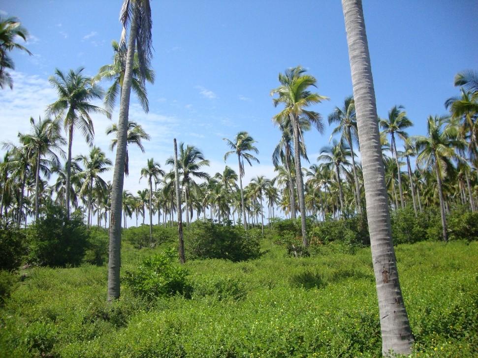 En venta terreno con huerta de coco en la Comunidad Santo Domingo en San Marcos, Guerrero